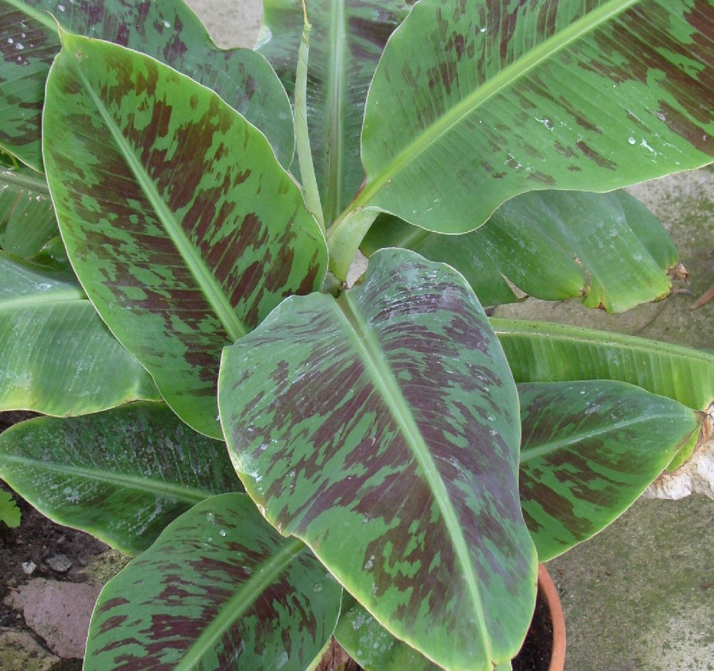 Banana Tree Care Propagation Light Heat And Watering Requirements