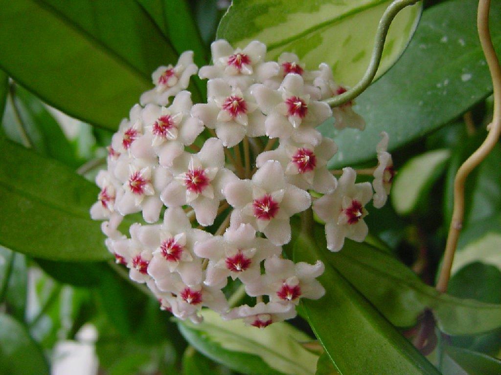 Viaszvirág szaporítása, gondozása, betegségei, virágoztatása