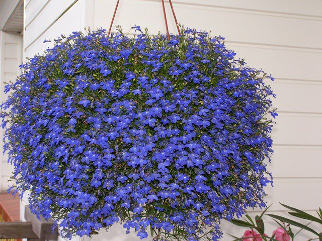 Flowers For Hanging Baskets In Winter : Lobelia erinus pendula care propagation planting