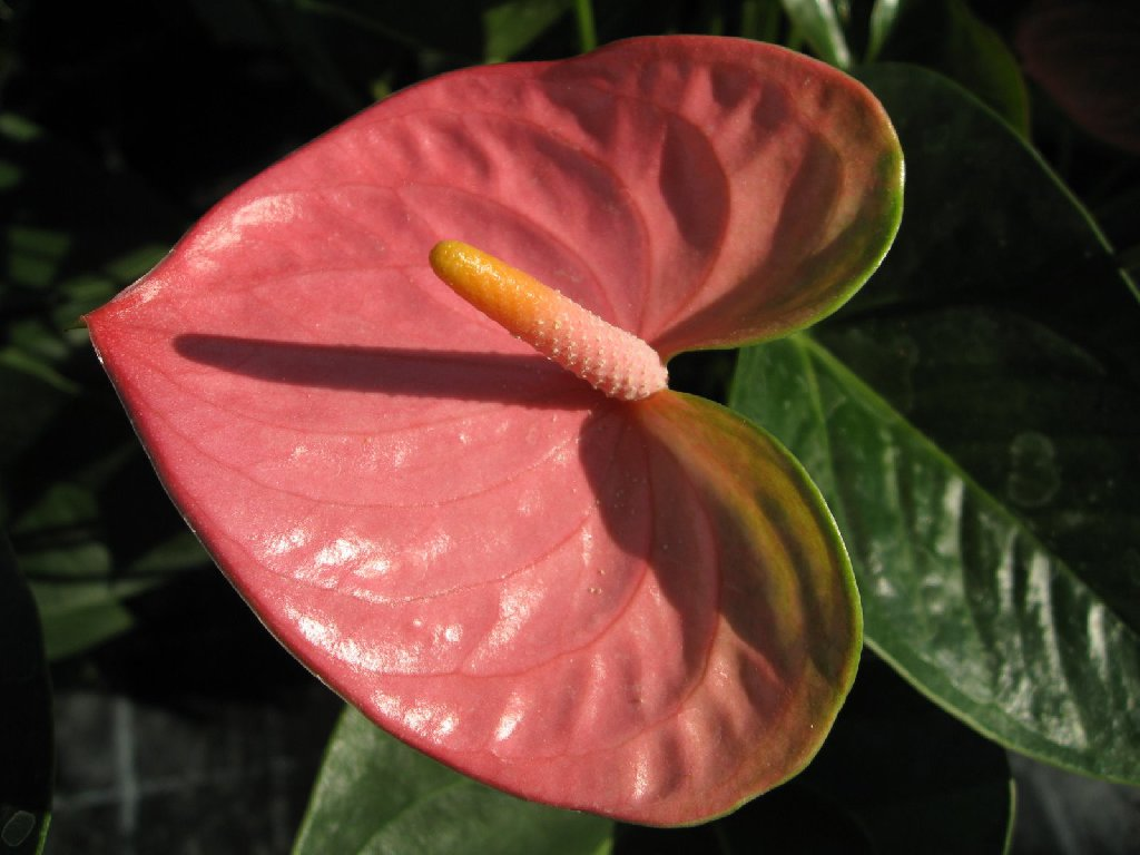 Flamingo Flower Care Propagation Requirements Diseases