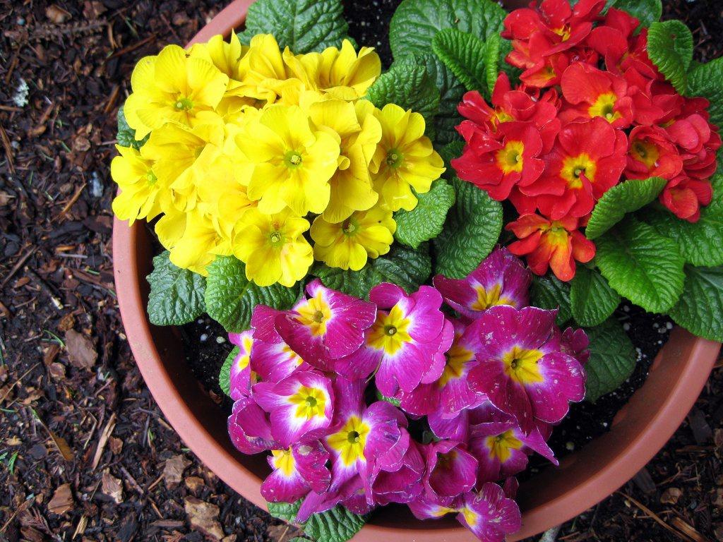 Примулы цветы 150